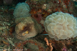 BD-090927-Lembeh-9274631-Amphioctopus-marginatus-(Iw-Takia-1964)-[Coconut-octopus].jpg